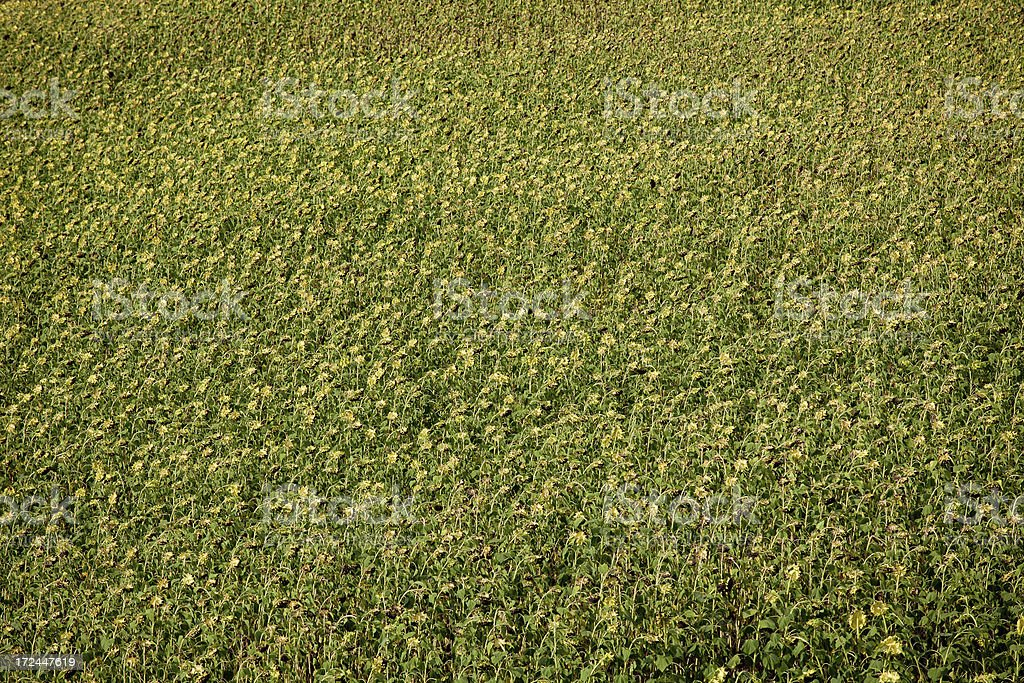 Field of dried Sunflowers royalty-free stock photo