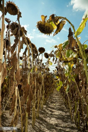 Inside of a field of dried sunflowers. Blue sky.similar images: