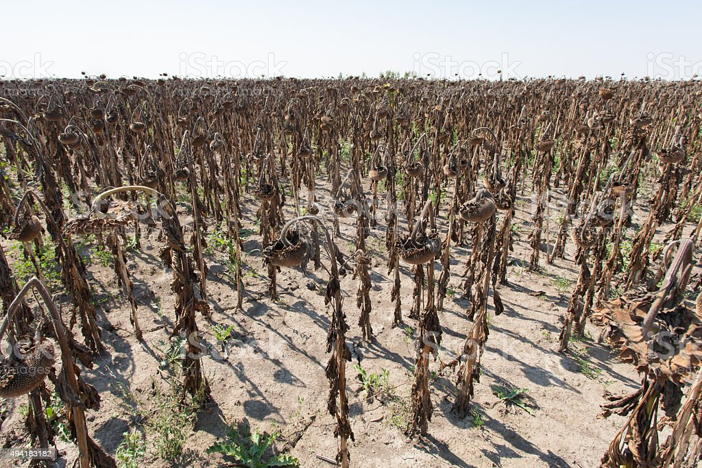 field of dried sunflowers stock photo