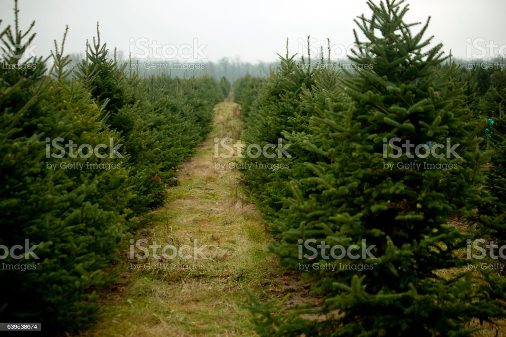 Field of Evergreens stock photo