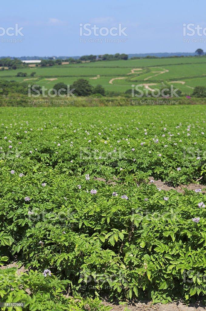 Field Of Flowered Potato Plants royalty-free stock photo