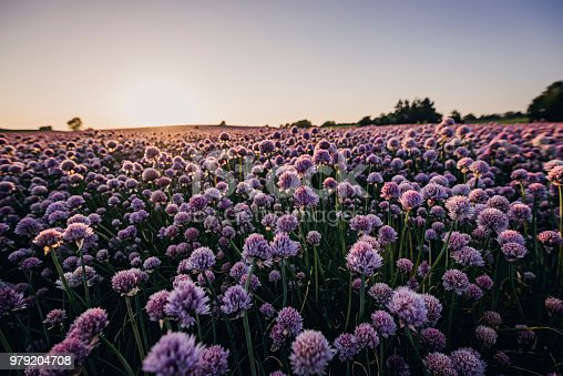 Low angle close up view of field of chives that flowered, photographed against the setting sun. Scientific name Allium schoenoprasum photographed in Denmark. Colour, horizontal with some copy space.