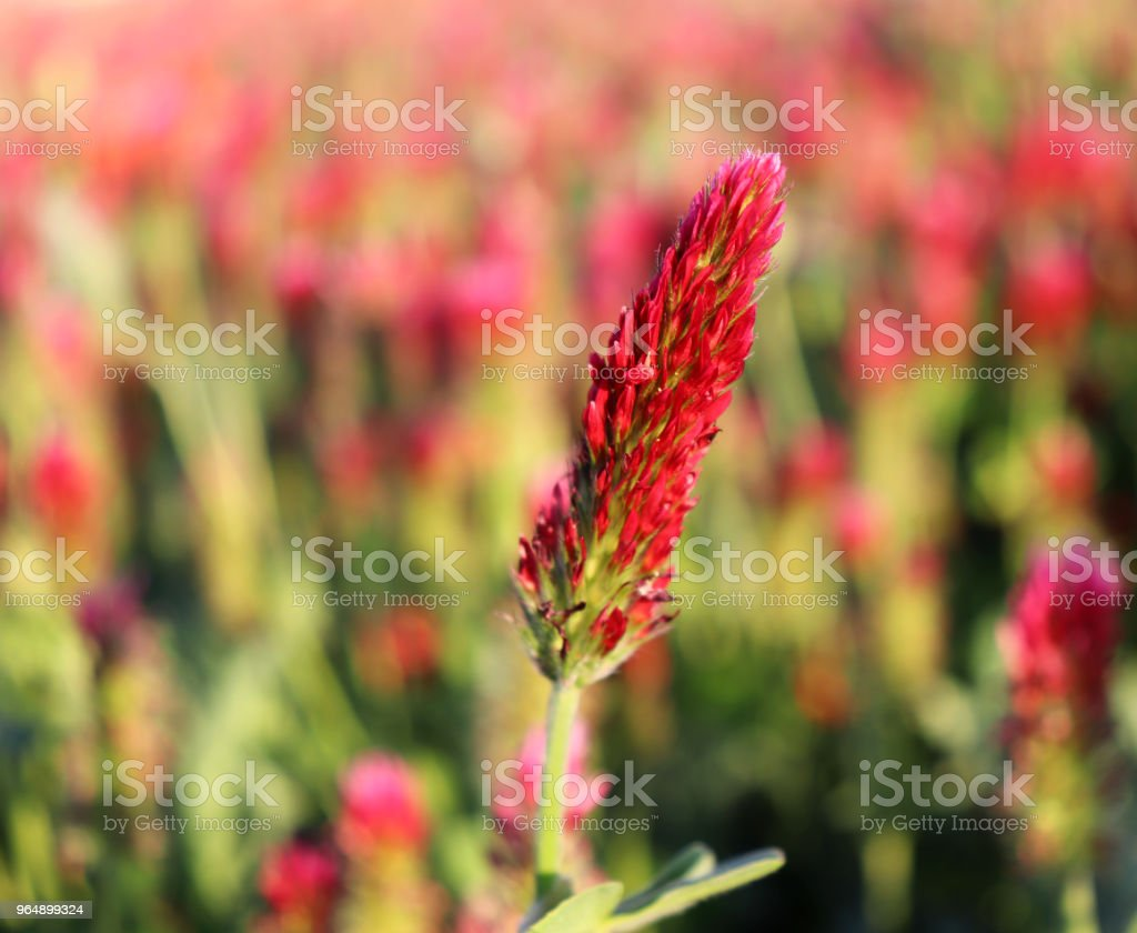 Field of flowering crimson clovers in spring landscape. Trifolium incarnatum. Beautiful red color. Idyllic view, hills, forest on the horizon. Blue sky, clouds. Full depth of field royalty-free stock photo