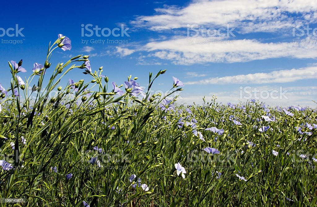 Field of flowering flax plants royalty-free stock photo