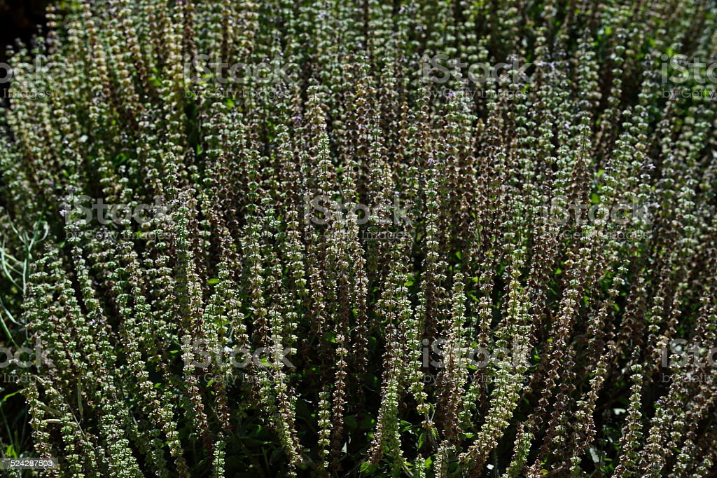 Field of flowering herb plants growing on a California central coast...