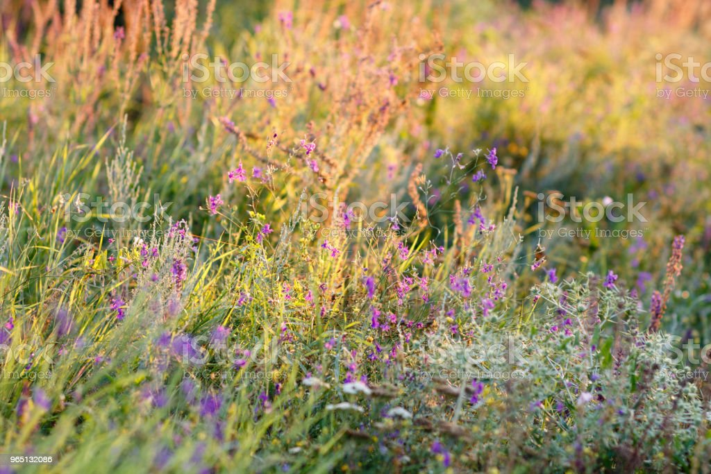 Field of flowering herbs at dawn in the early morning. The sun's rays illuminate the green plants in steppe royalty-free stock photo