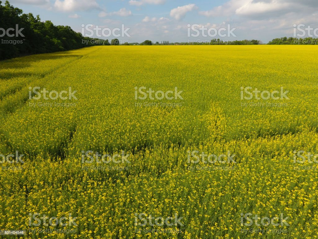 Field Of Flowering Rape Rape A Syderatic Plant With Yellow Flowers