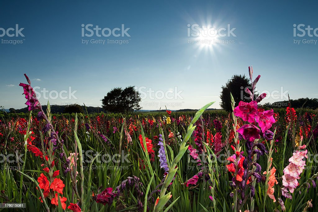Field of Flowers stock photo