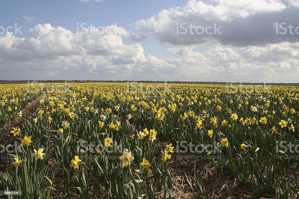 Field of flowers (narcis) royalty-free stock photo