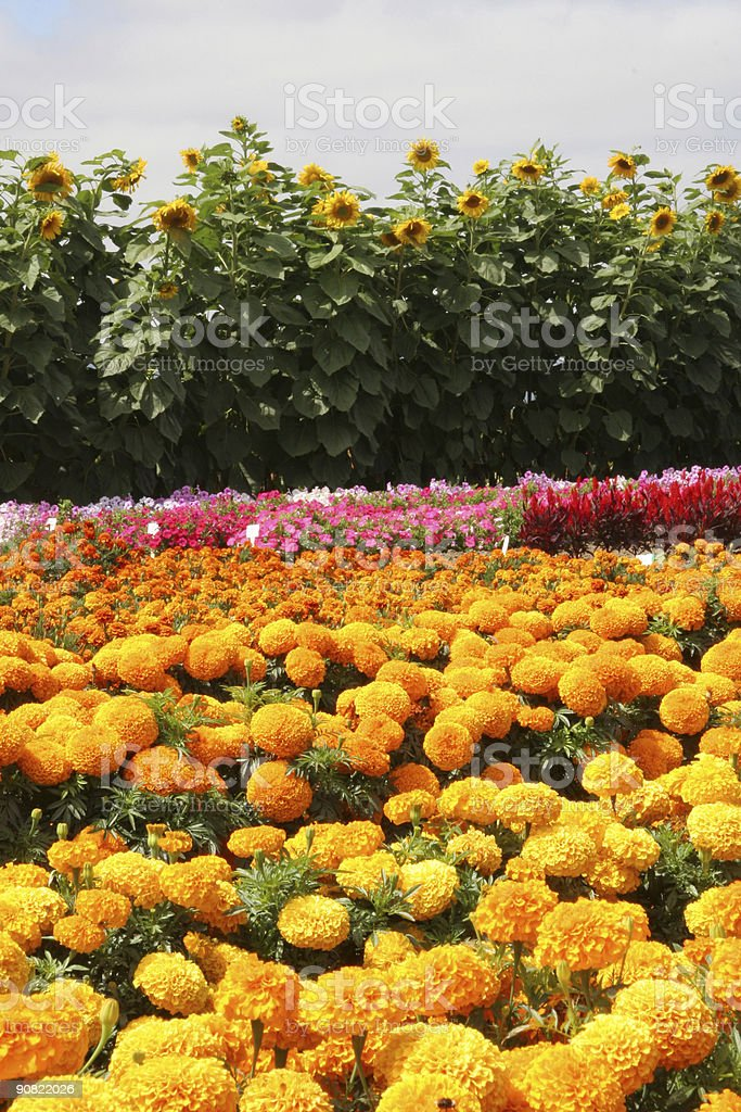 Field of Flowers royalty-free stock photo