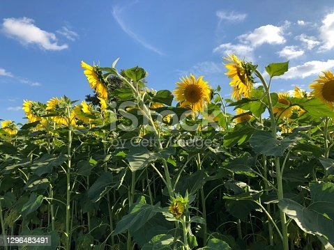 A group of giant sunflower Helianthus giganteus in the sun. Vibrant yellow again the blue sky. Field crop full.