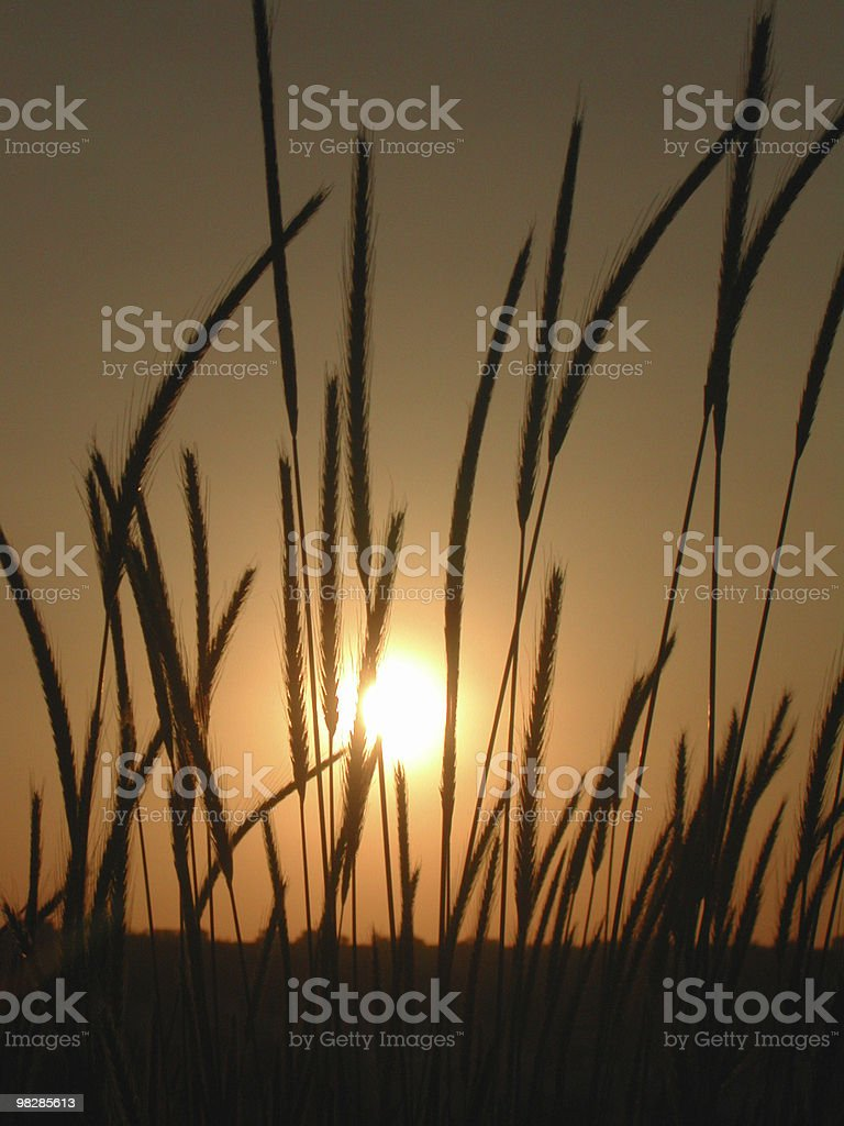 Field of gold wheat at sunset. royalty-free stock photo