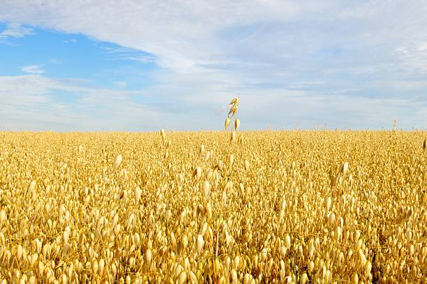 Field of Golden Oats  oat crop stock pictures, royalty-free photos & images