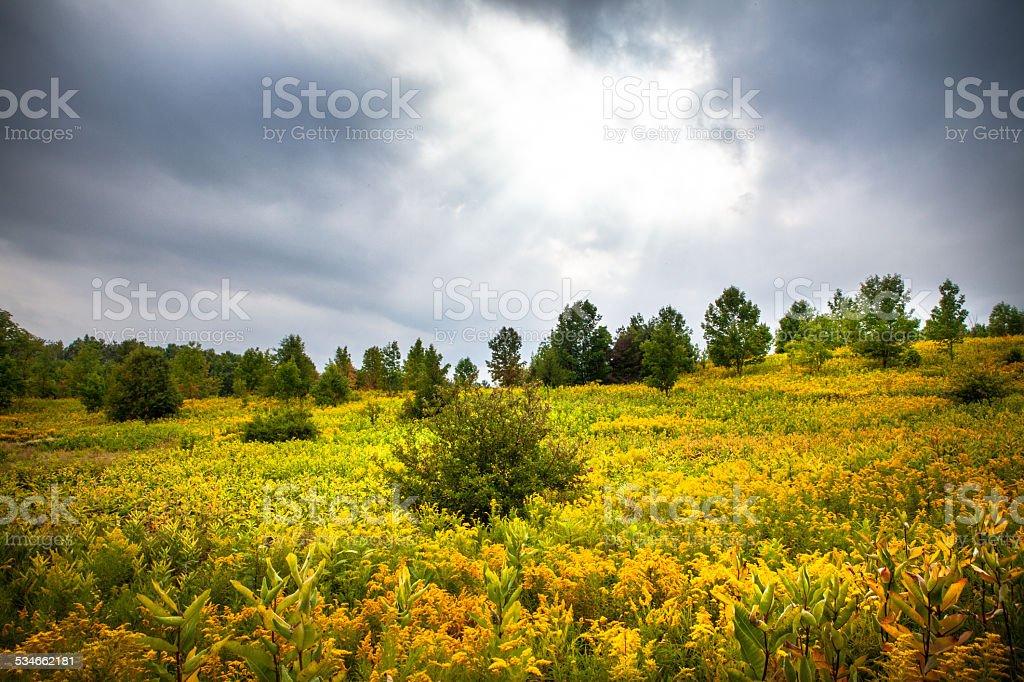 Field of Golden Rod & Milkweed stock photo
