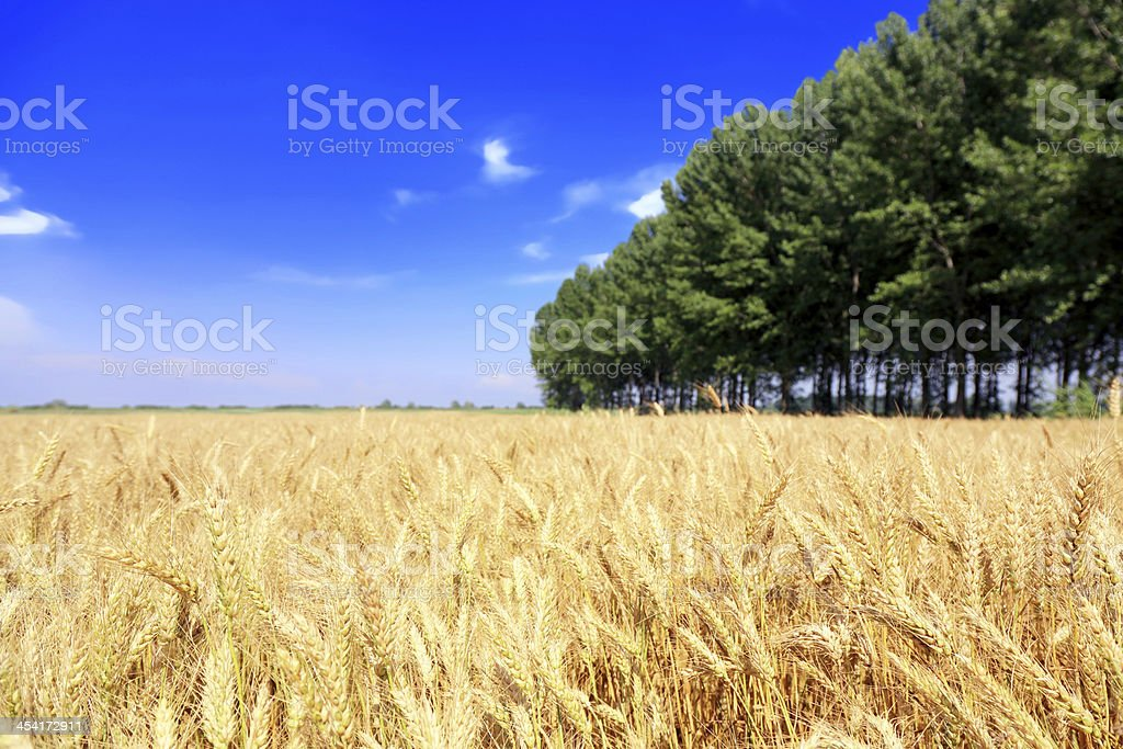 Field of golden wheat royalty-free stock photo