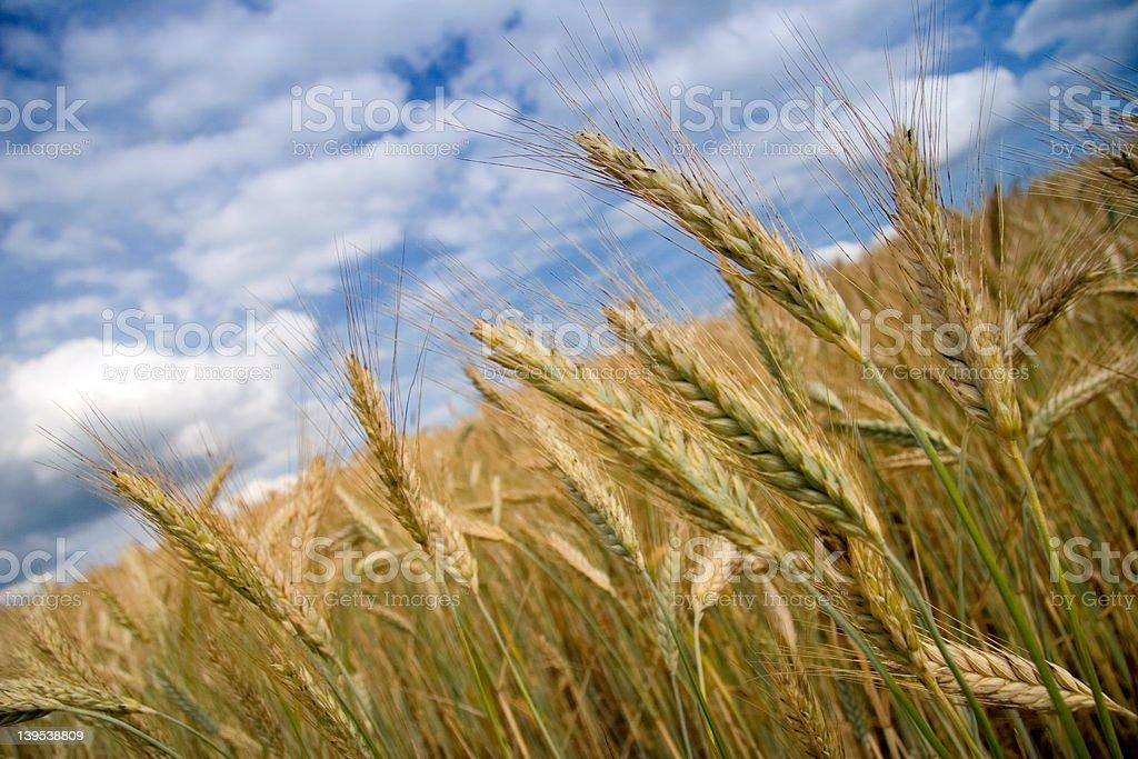field of grain royalty-free stock photo