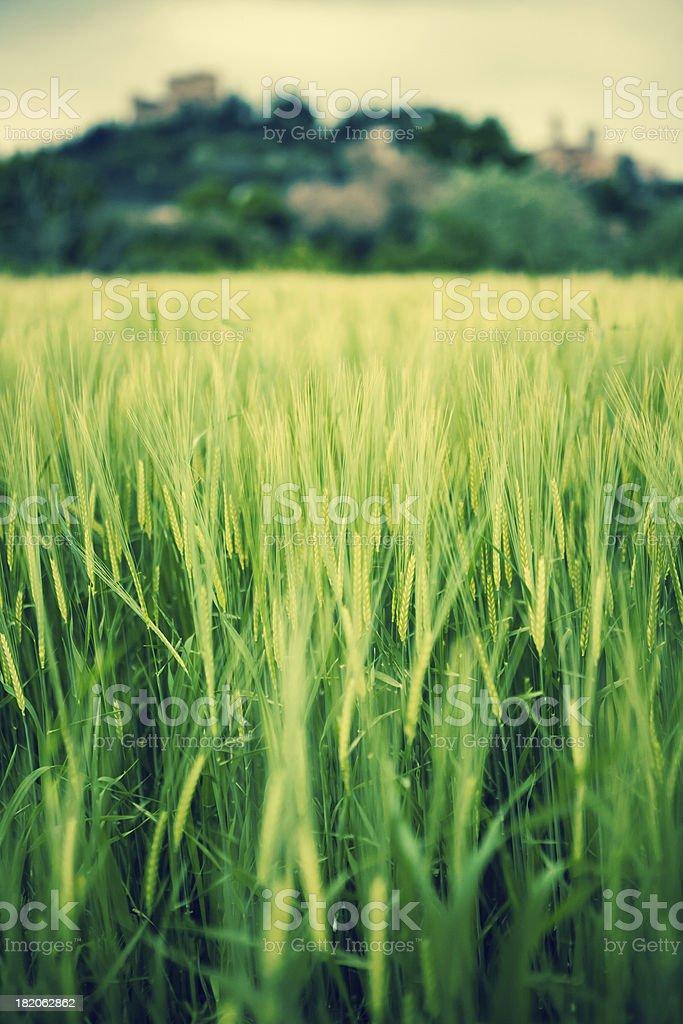 Field of grain – Foto