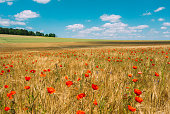 field of grain with poppies in the summer