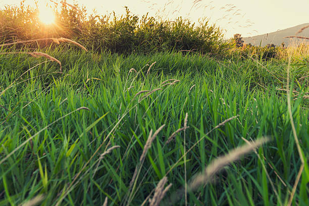 Field Of Grass At Sunset stock photo