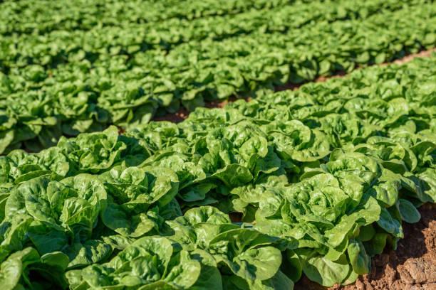 Campo de lechuga verde y fresca. concepto agrícola - foto de stock