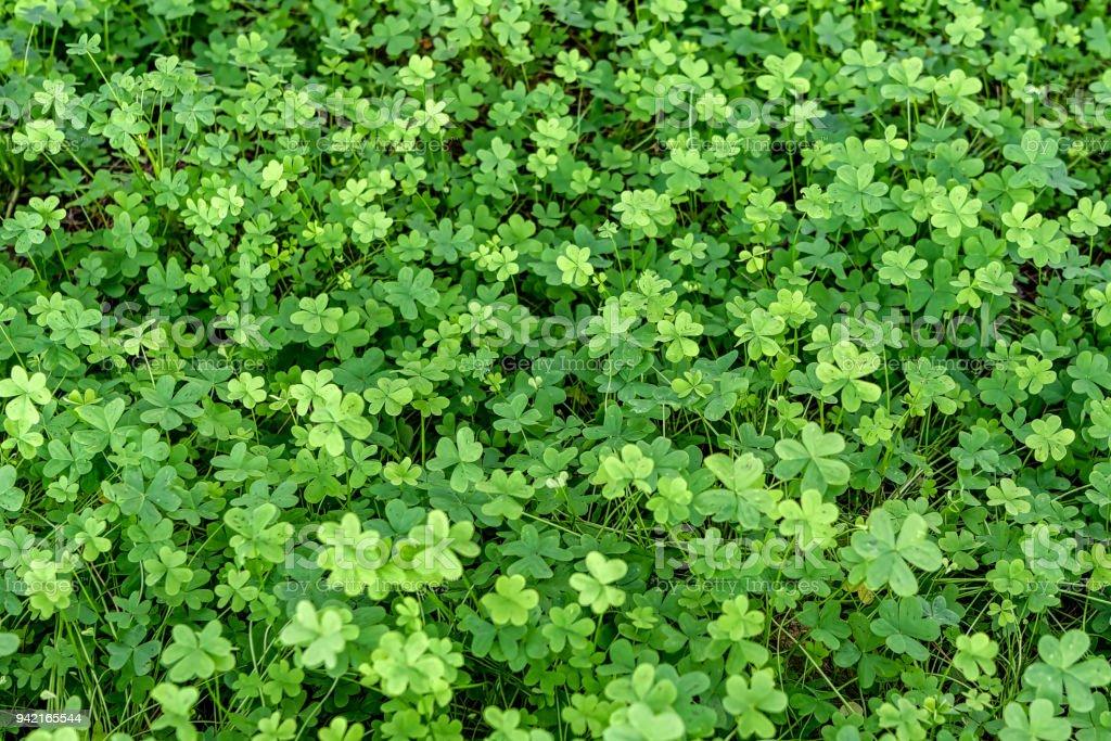 Field of green clovers, shamrocks. stock photo