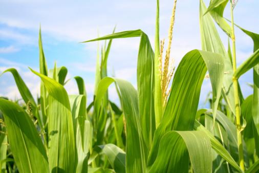 Field of green corn during summer