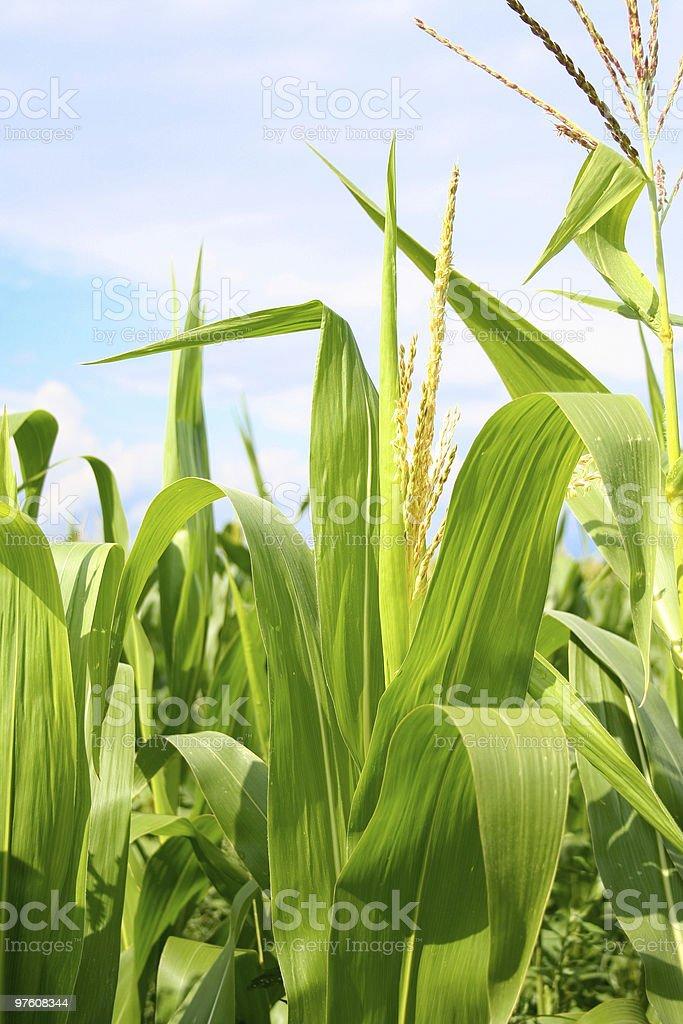 Field of green corn during summer royaltyfri bildbanksbilder