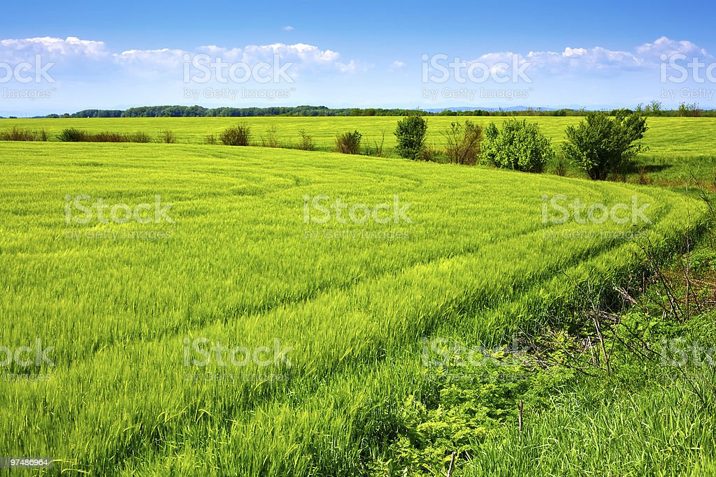 Field of green fresh grain and beautiful blue sky royalty-free stock photo