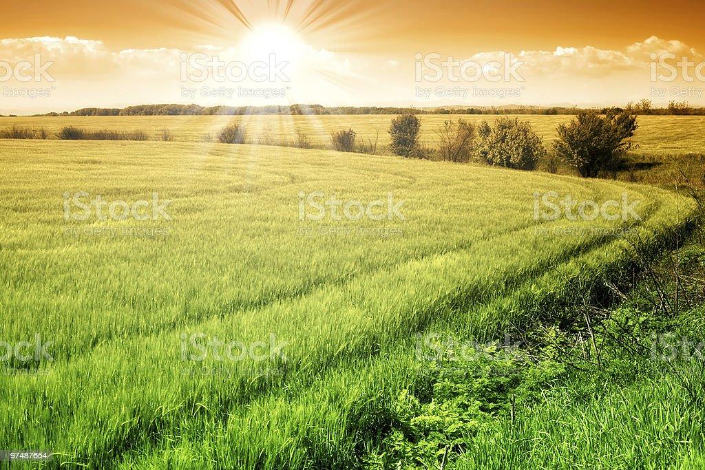 Field of green fresh grain and sunny sky royalty-free stock photo
