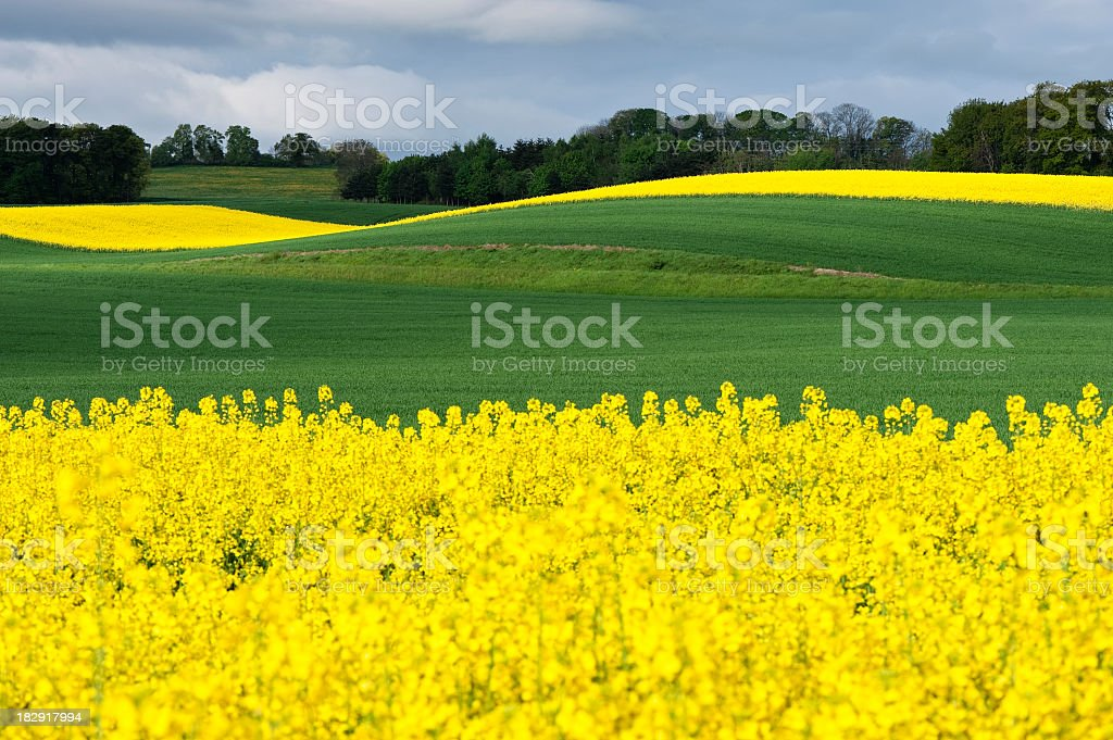 Field of green grass and yellow flowers stock photo