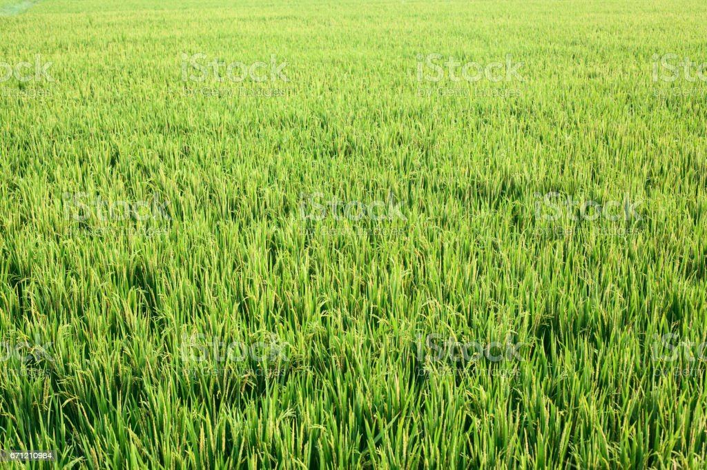 Field of green grass stock photo