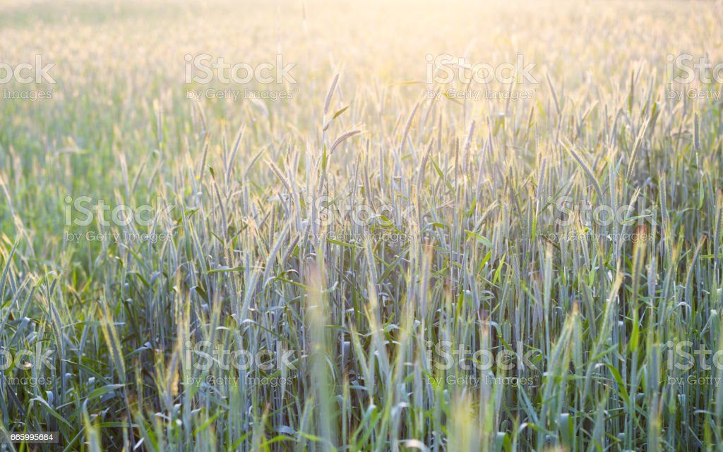 Field of green rye in a sunshine stock photo