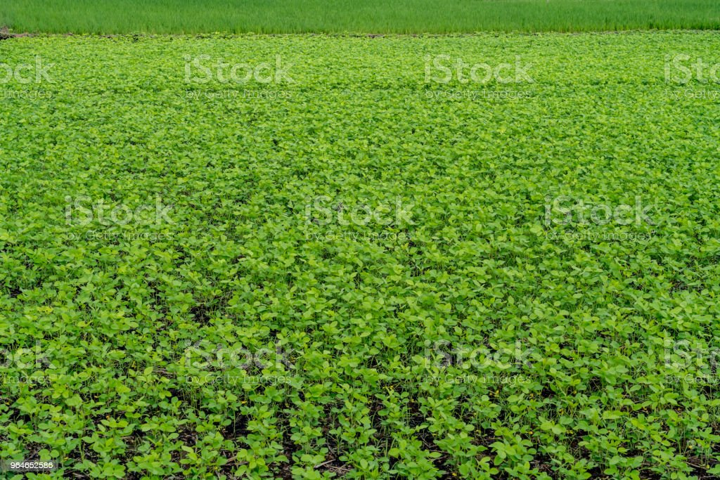 field of green vegetables garden royalty-free stock photo