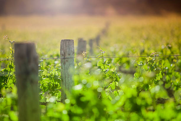 Field of green vines and wooden posts under the sun stock photo