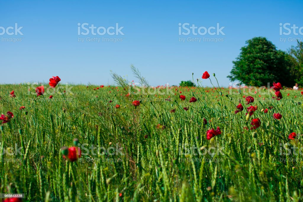 field of green wheat and red poppies under the sun - Royalty-free Agricultural Field Stock Photo