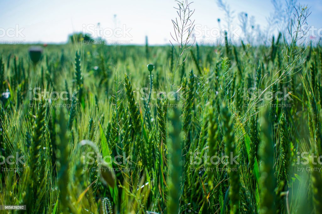 field of green wheat under the sun - Royalty-free Agricultural Field Stock Photo
