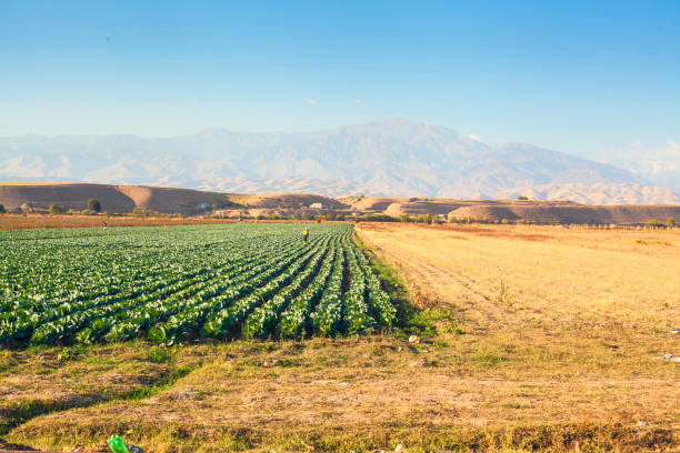 Field of harvest in front of the mountains stock photo