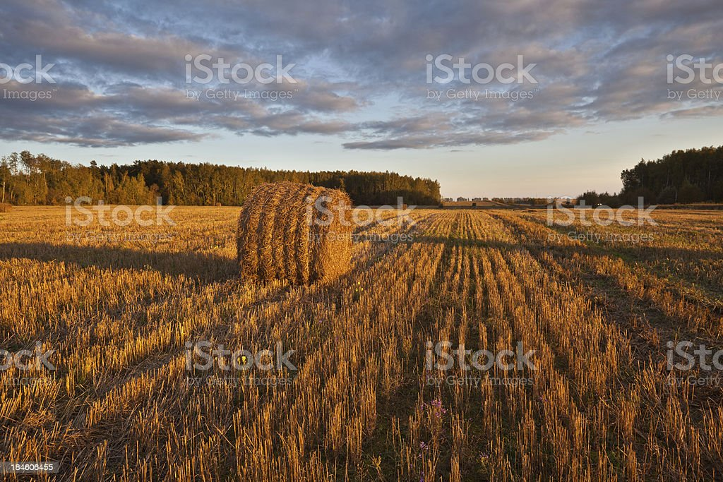 field of haystacks at sunset royalty-free stock photo