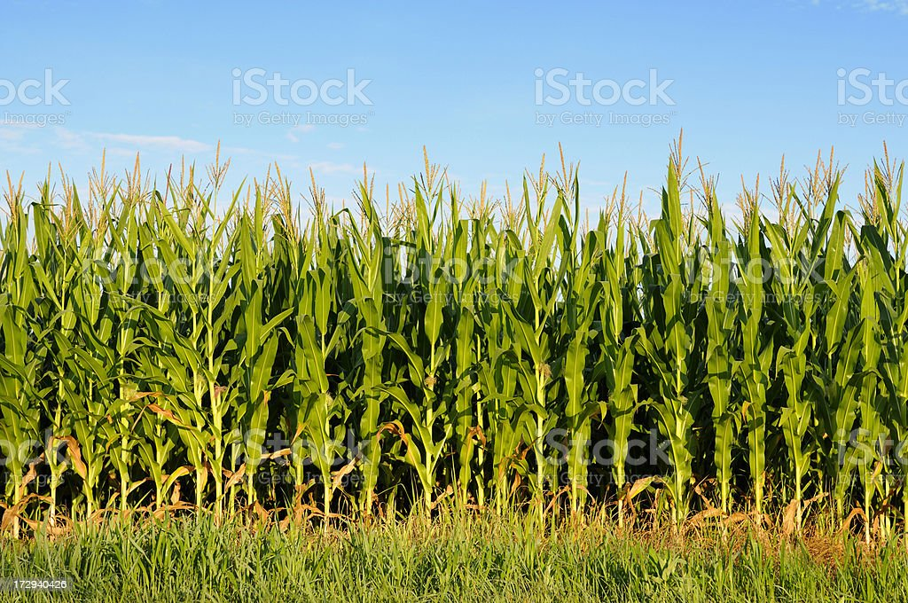 Field of healthly corn. royalty-free stock photo