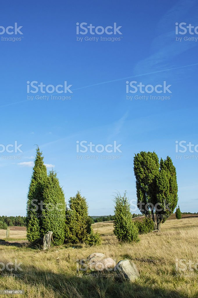 Field of heather with trees royalty-free stock photo