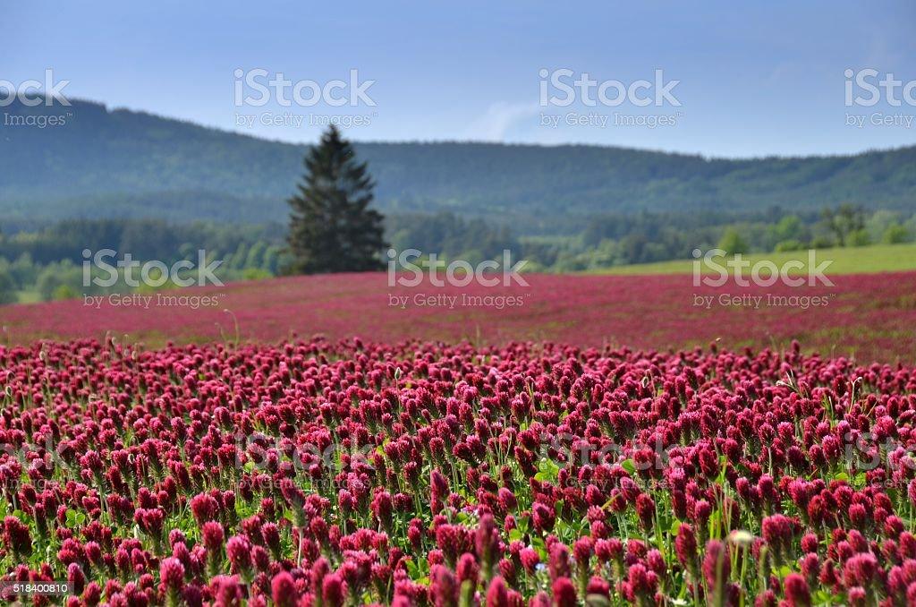 Field of inkarnatklee, trifolium incarnatum. stock photo