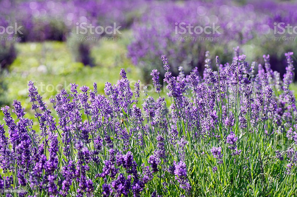 Field of lavender flower on a summer day, Quebec, Canada stock photo