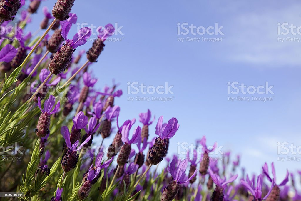 Field of lavender flowers against blue sky royalty-free stock photo