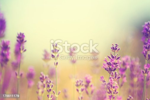 Lavender in summer.