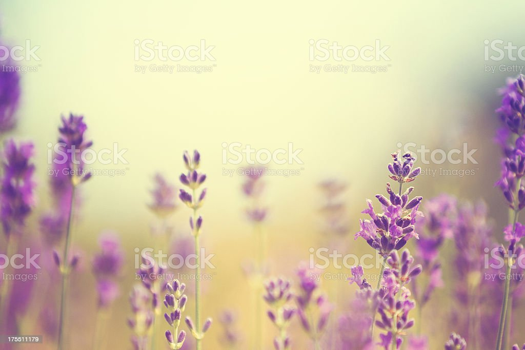 Field of lavender plants in summer stock photo