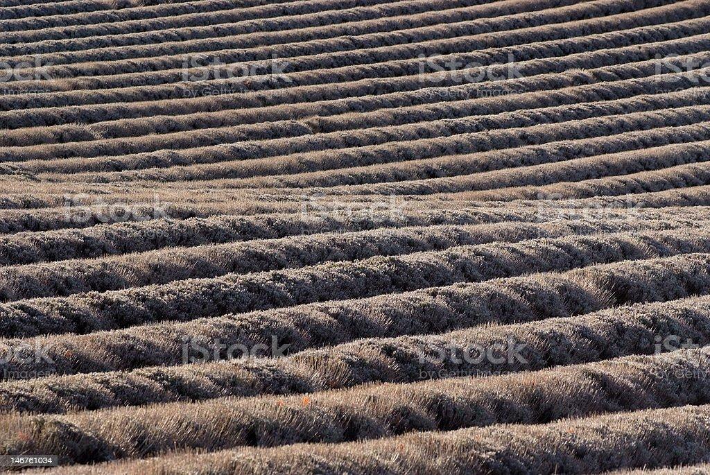 field of lavenders in winters stock photo