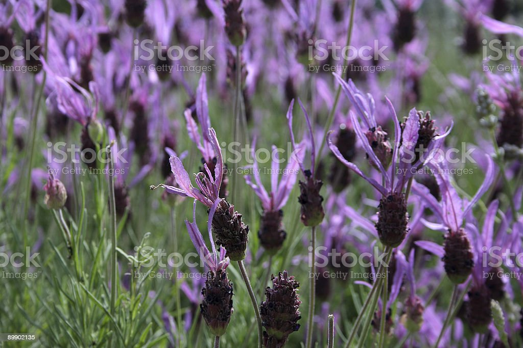 Field of Lavenders royalty-free stock photo