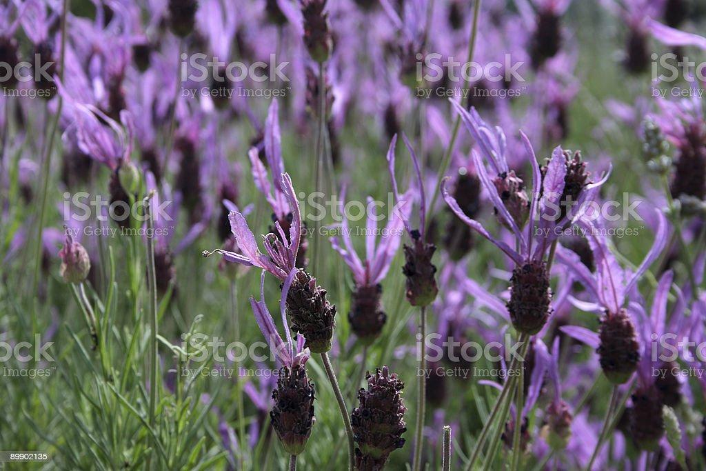 Campo de Lavenders foto de stock libre de derechos