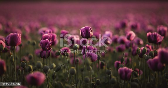 901386728 istock photo Field of lilac Poppy Flowers on sunset in early Summer 1227069797