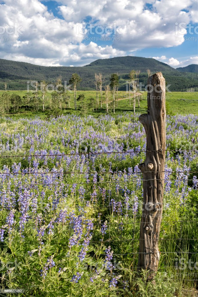 Field Of Lupine Wildflowers And Fence Post royalty-free stock photo